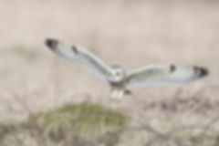 short eared owl best flight 3.jpg