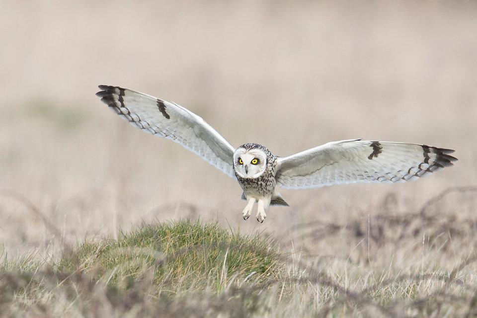 short eared owl best flight 3.jpg