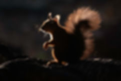 sony backlit red squirrel.jpg