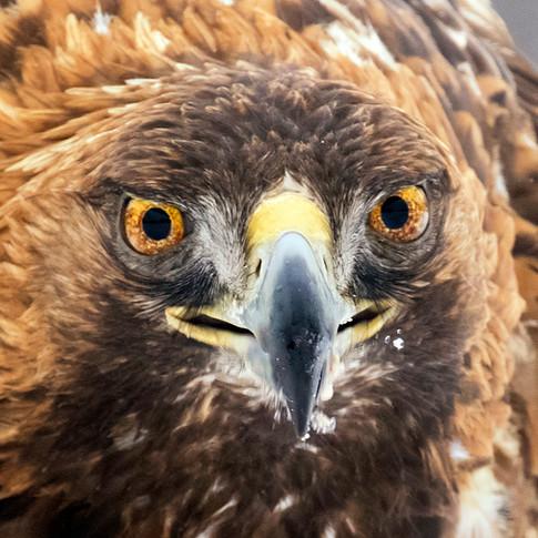 golden eagle close up beak.jpg