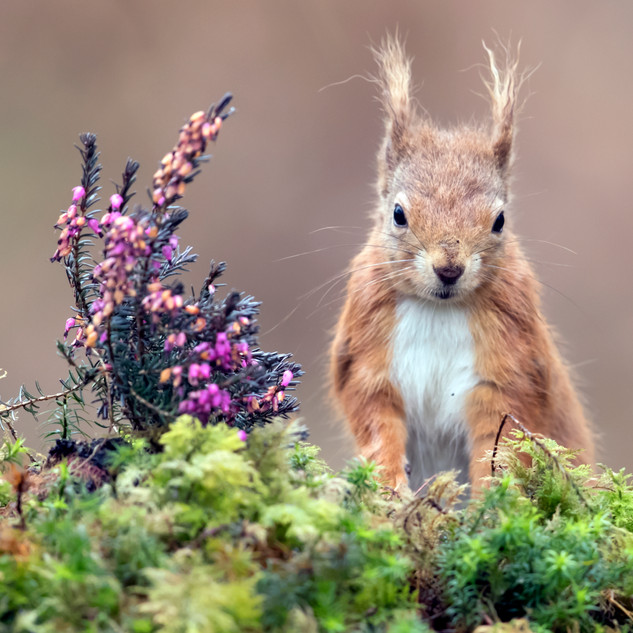 red squirrel face on heather.jpg