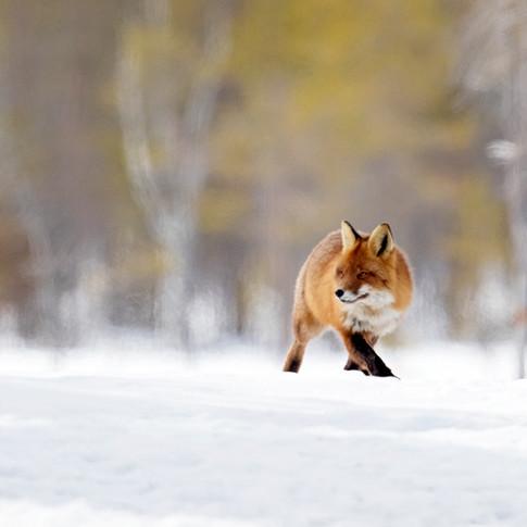 fox snow sweden 2.jpg