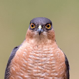 sparrowhawk eye contact big.jpg