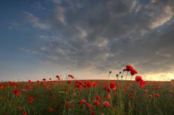 Poppy Fields III