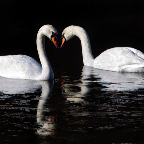 two swans ice.jpg
