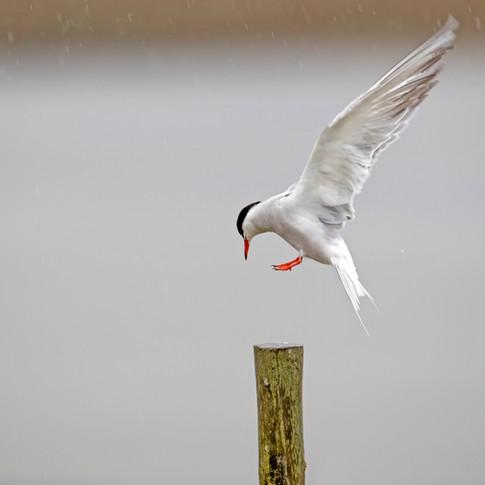common tern rain post.jpg