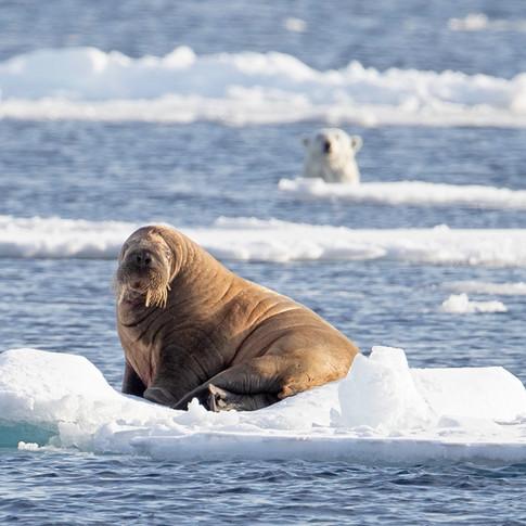 walrus and polar bear.jpg