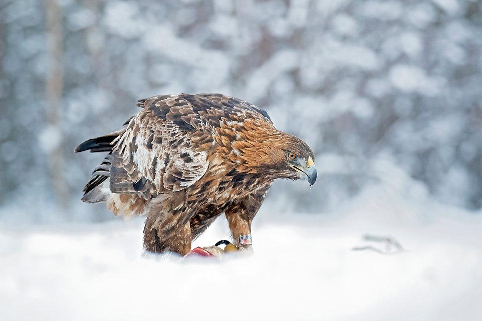 golden eagle prey snow.jpg