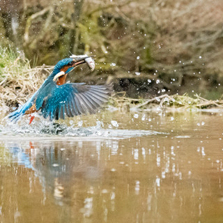 song kingfisher exit water.jpg