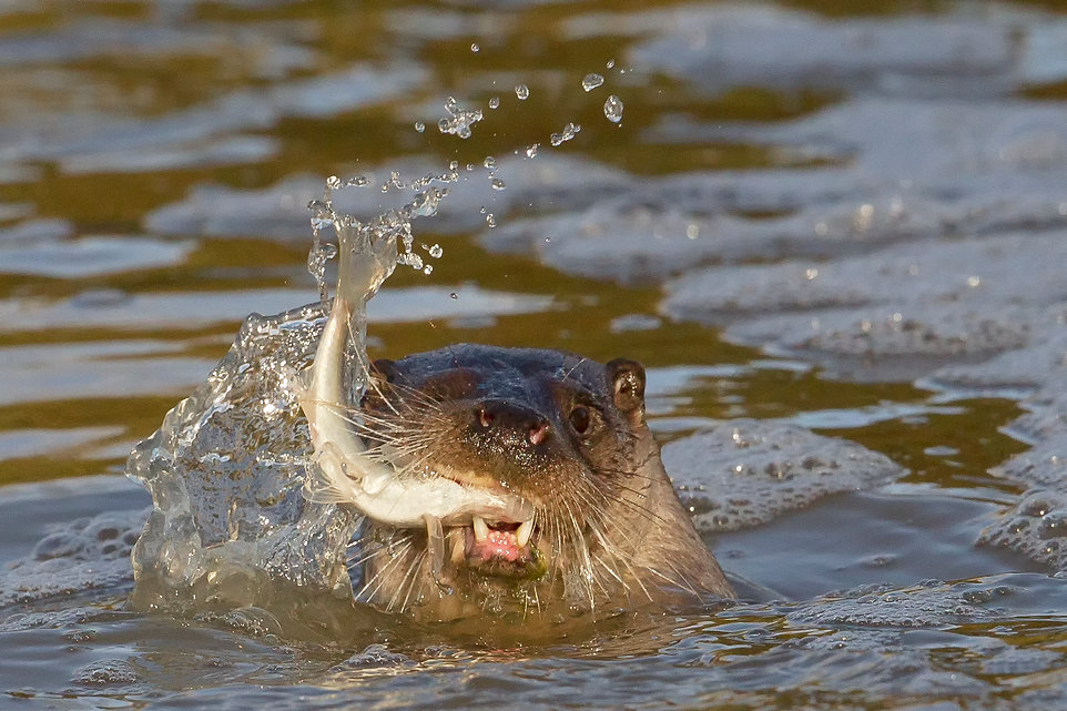 otter fish best 2.jpg