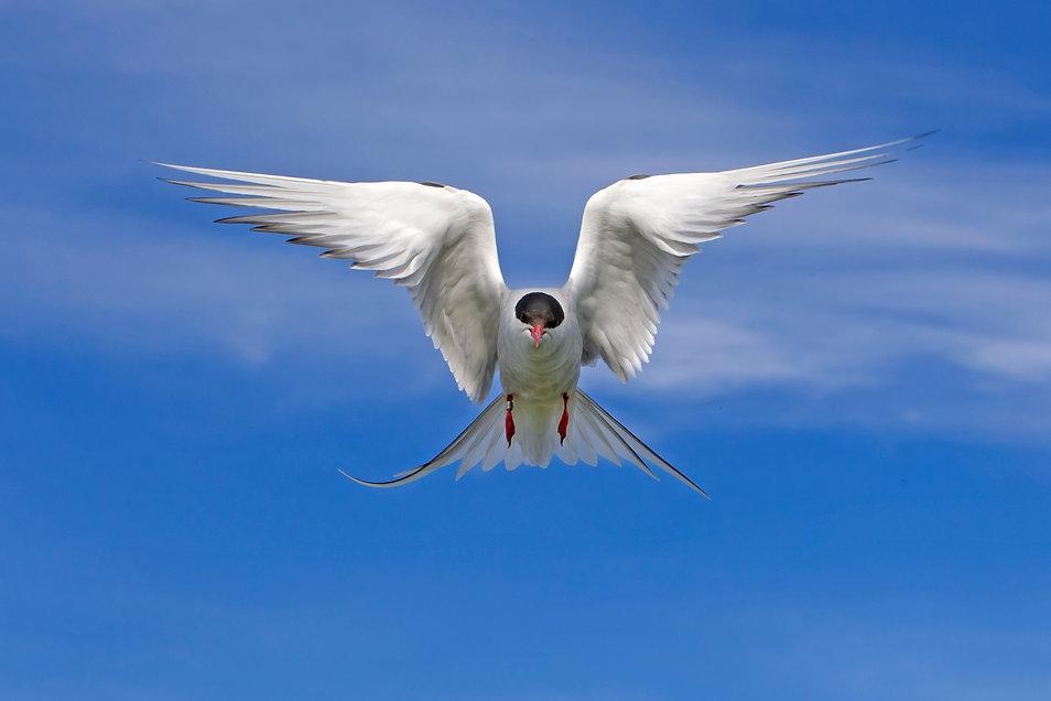 arctic tern balanced.jpg