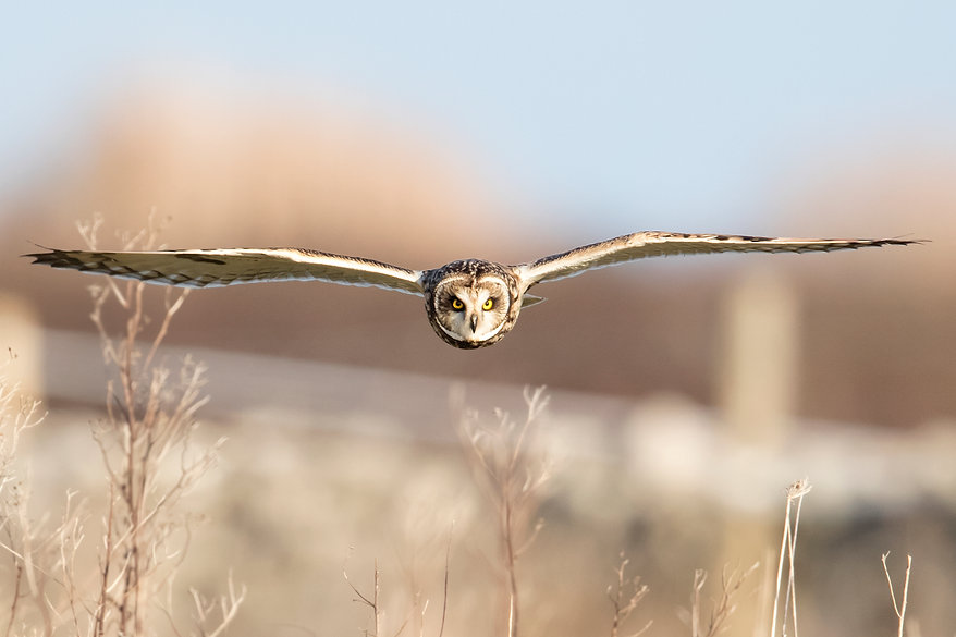 short eared owl straight on.jpg