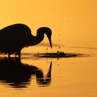 sony little egret silhouette.jpg