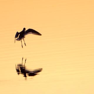 godwit landing sunrise.jpg