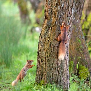 red squirrels x2 tree.jpg