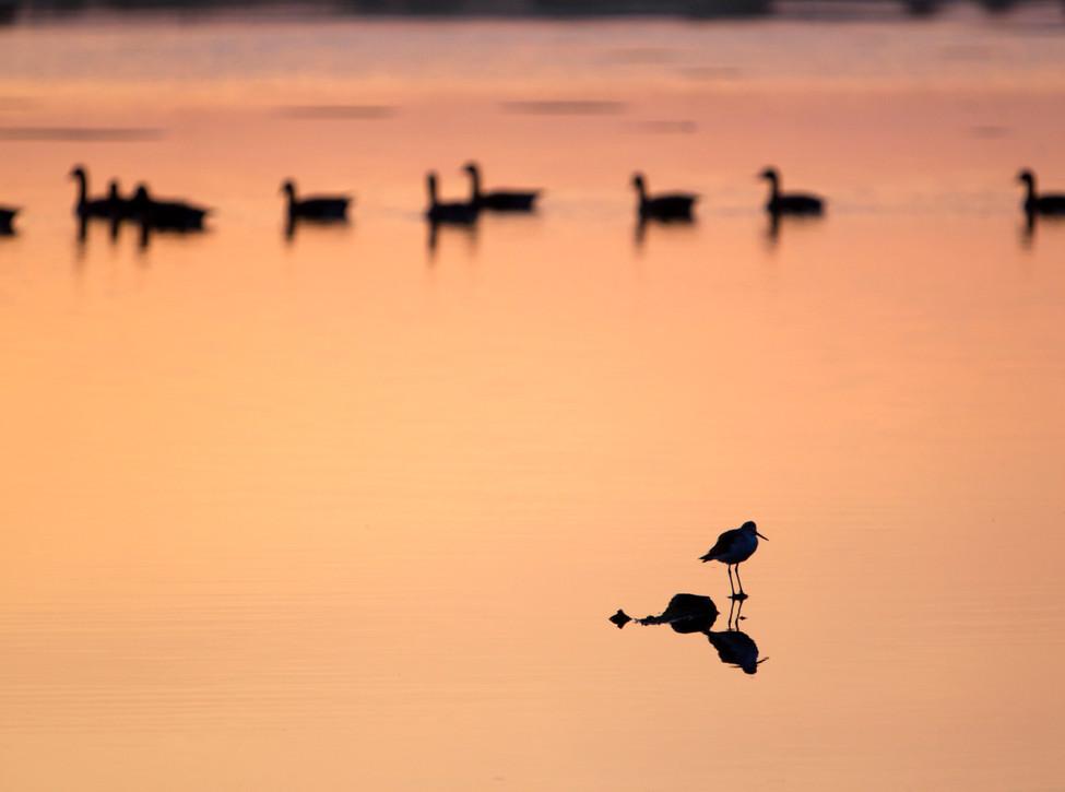 brownsea lagoon birds dawn.jpg