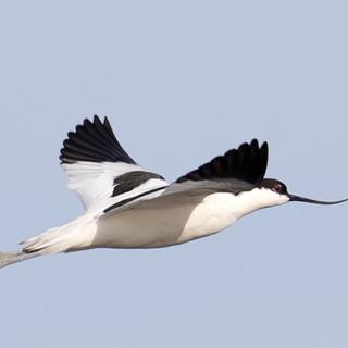 avocet flight 2.jpg