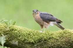 Sparrowhawk II