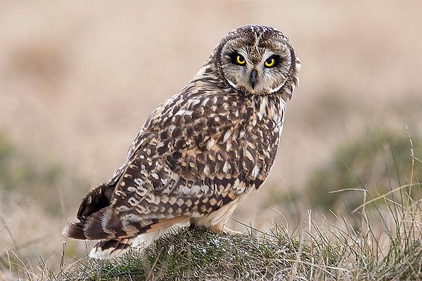 short eared owl tussock stare.jpg