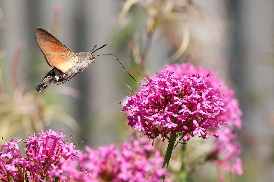 hawk moth 11.jpg