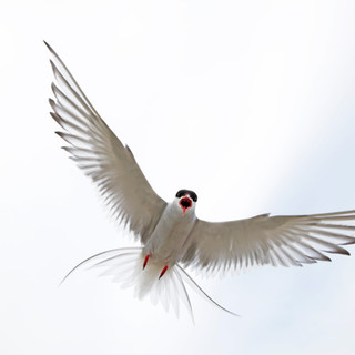 arctic tern close.jpg
