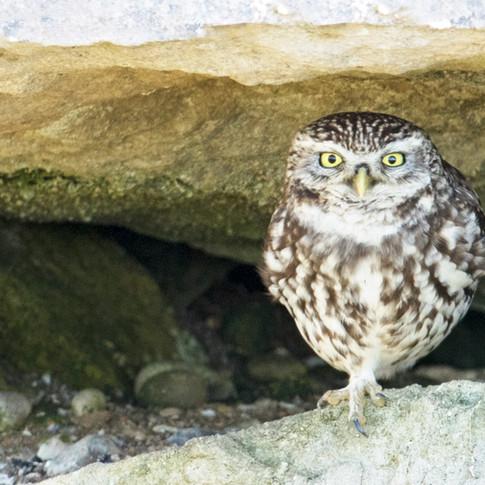 little owl claws.jpg