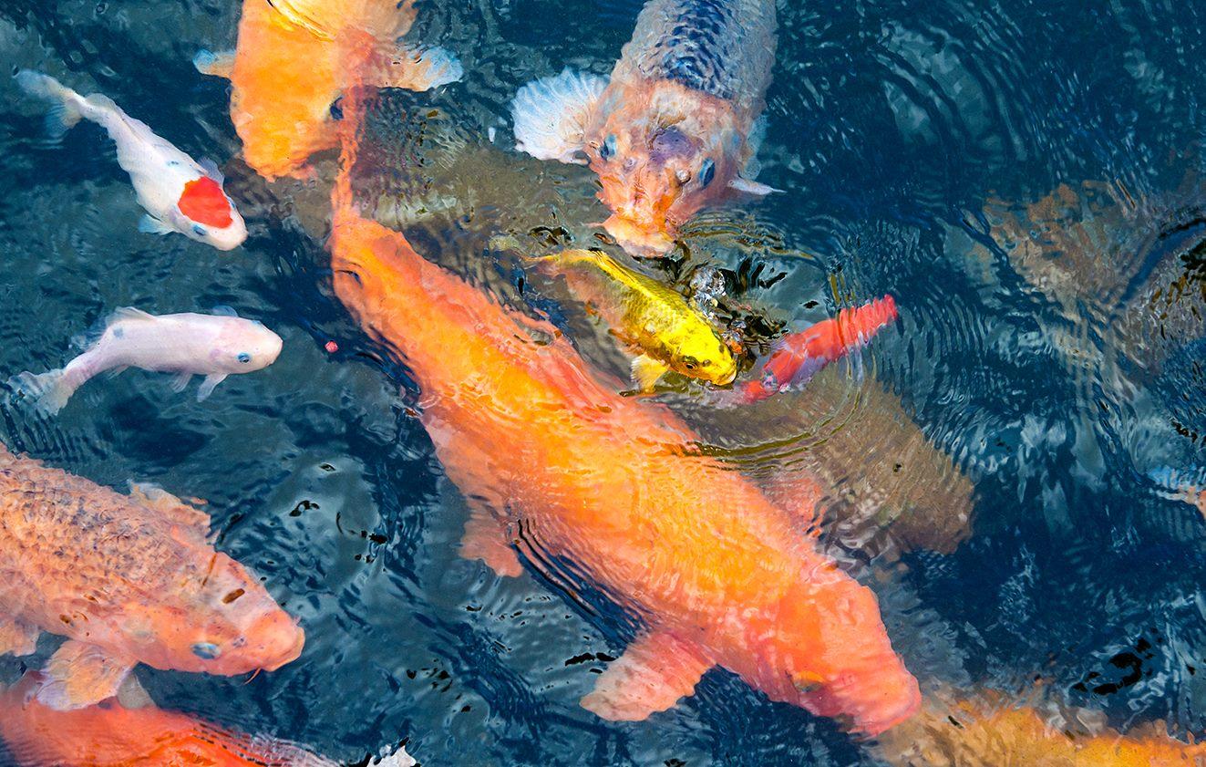 Goldfish in Bali