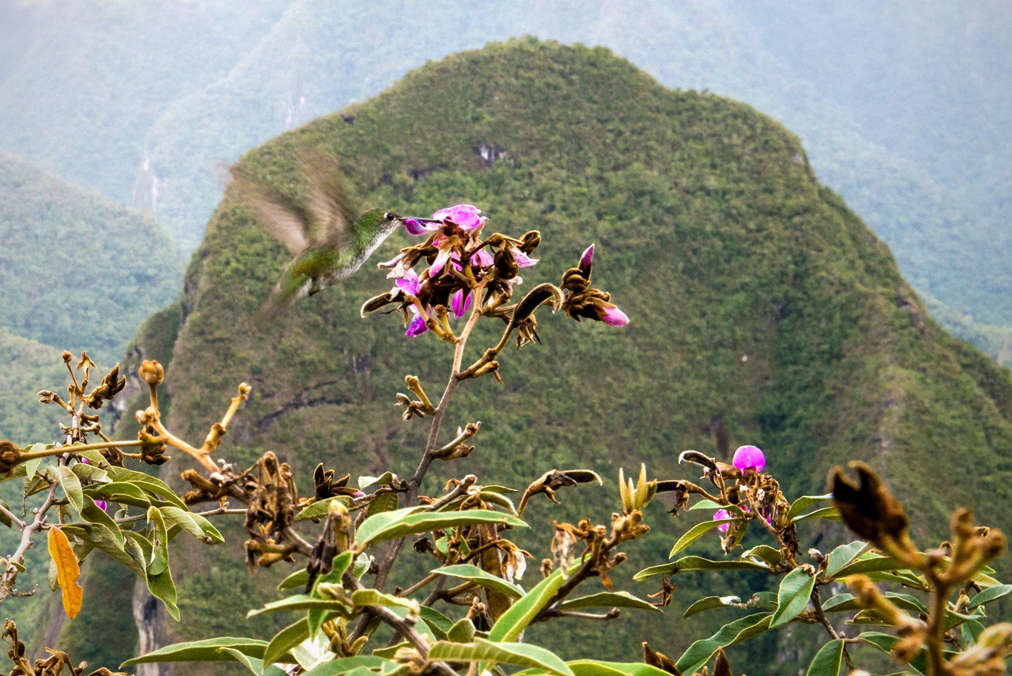 Colibri of Machu Pichhu
