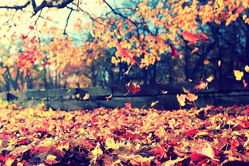 background texture of yellow leaves autu
