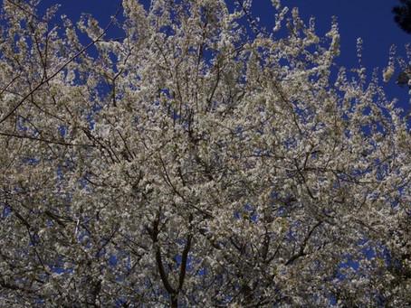 Cherry tree delirium