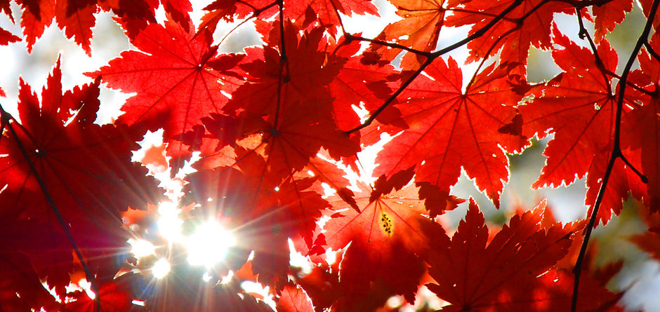 Autumnal ornament, red leaves of maple.j