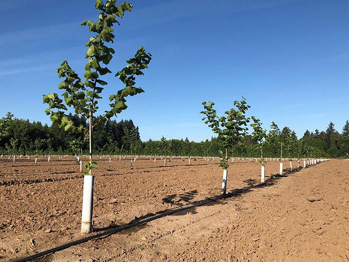 drip-irrigation-hazelnuts.jpg