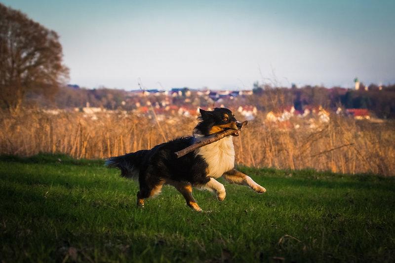 Hund beim Stöckchen spielen, Australian Shepherd, Carolin Lobina