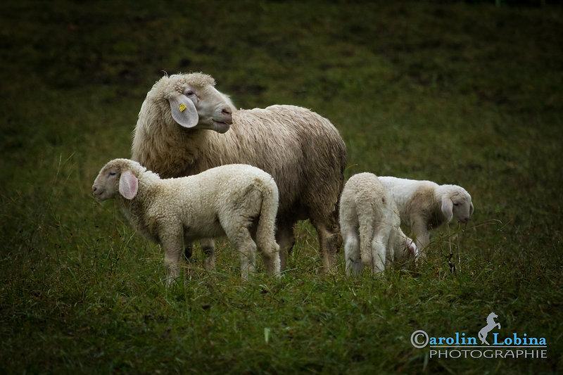 Schaf mit Lämmchen, Carolin Lobina