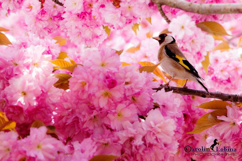 Stieglitz im Zierkirschen Blütenmeer, Carolin Lobina