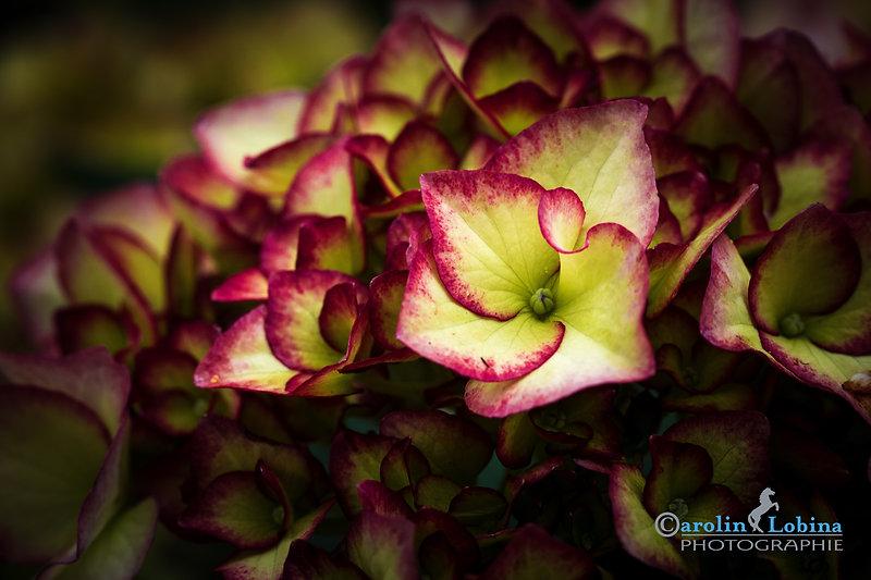 Hortensienblüte, Carolin Lobina
