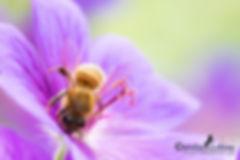 Biene auf Storchenschnabel, Carolin Lobina
