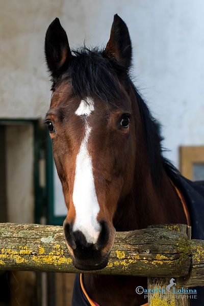 Pferd im Paddok, Carolin Lobina