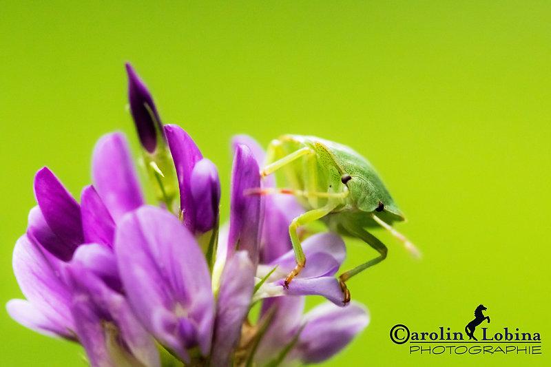 grüne Stinkwanze auf lila Wildblume, Basterd-Schneckenklee, Carolin Lobina
