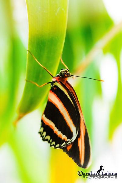schwarz-orange gestreifter Schmetterling, gestreifter Passionsblumenfalter, Carolin Lobina