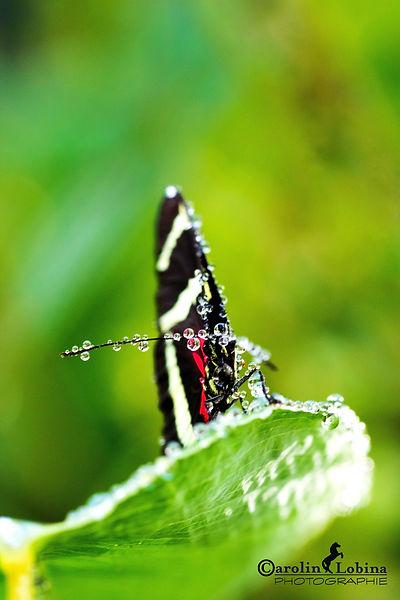 schwarzer Schmetterling mit gelben Streifen, Pachinus Falter, Carolin Lobina