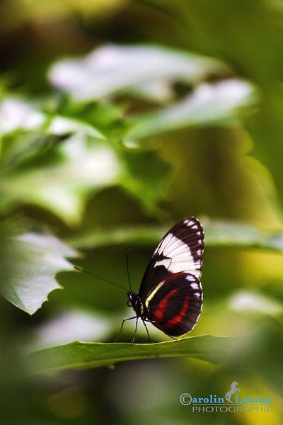 schwarzer Schmetterling mit weißem Band roten und gelben Streifen, Cydno Passionsfalter, Carolin Lobina