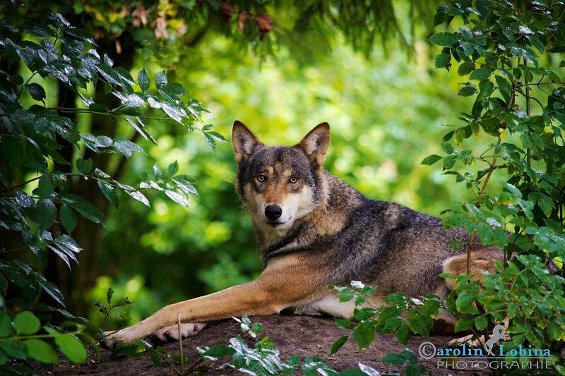 liegender Wolf umrahmt von Blättern