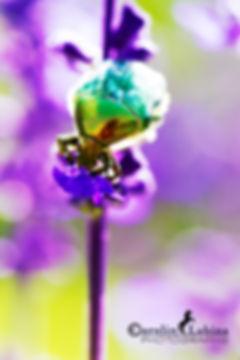 Rosenkäfer auf blauer Hyazinthe, Carolin Lobina