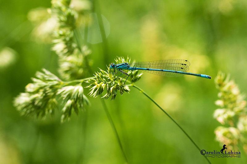 Azurjungfer auf blühendem Gras, Carolin Lobina