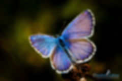 Schmetterling Geißklee-Bläuling, Carolin Lobina