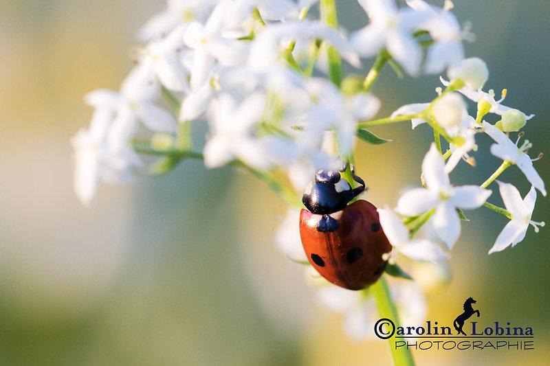 Marienkäfer auf weißer Wiesenblume, Wiesen-Labkraut, Carolin Lobina