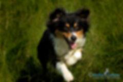 springender Hund Australian Shepherd, Carolin Lobina