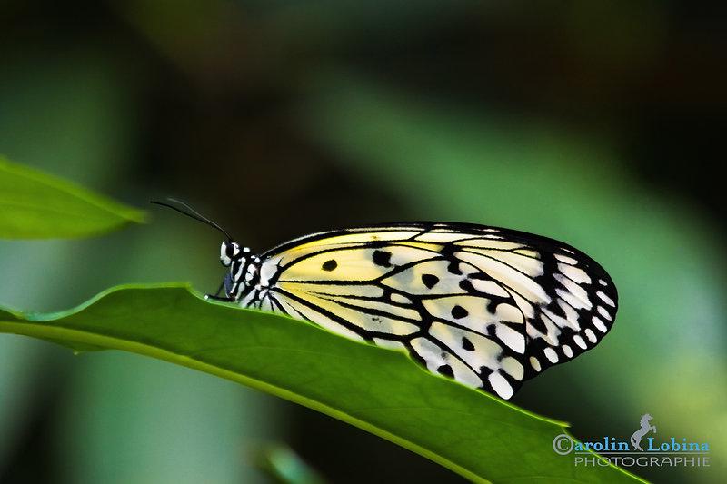 schwarz-weißer Schmetterling, weiße Baumnymphe, Carolin Lobina