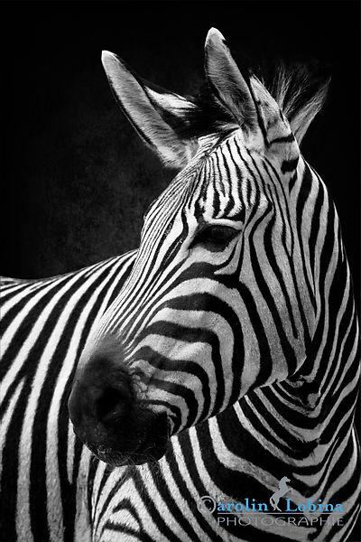 Zebra Carolin Lobina